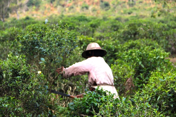 Growing Tea Ban Rak Thai