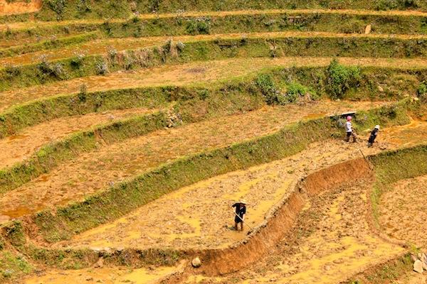 Rice Paddies Near Sapa